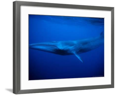 Sei Whale, Swimming, Azores, Portugal-Gerard Soury-Framed Art Print