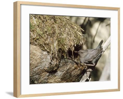 American Dipper at Nest, USA-Mary Plage-Framed Art Print
