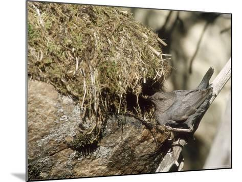 American Dipper at Nest, USA-Mary Plage-Mounted Photographic Print