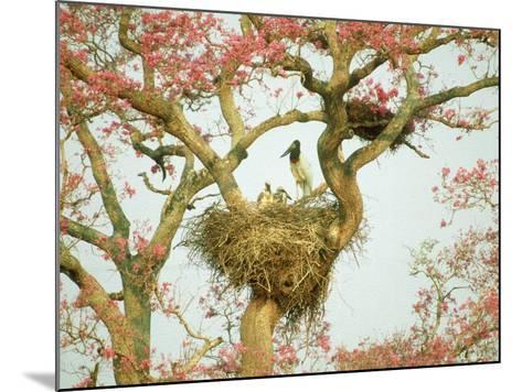 Jabiru Stork at Nest, Brazil-Richard Packwood-Mounted Photographic Print