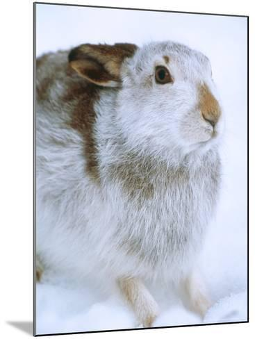 Mountain Hare or Blue Hare, Shows Coat Colour in Late January, Monadhliath Mountains, UK-Richard Packwood-Mounted Photographic Print