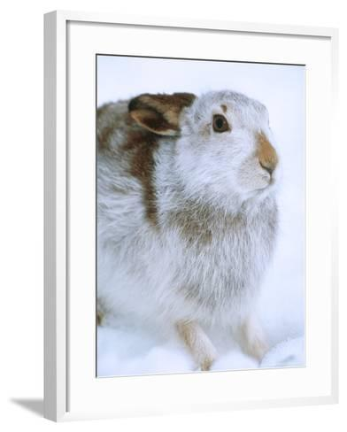Mountain Hare or Blue Hare, Shows Coat Colour in Late January, Monadhliath Mountains, UK-Richard Packwood-Framed Art Print