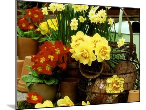 """Narcissus """"Tahiti"""" and """"Minnow"""" (Daffodil) with Red Polyanthus Plant-James Guilliam-Mounted Photographic Print"""