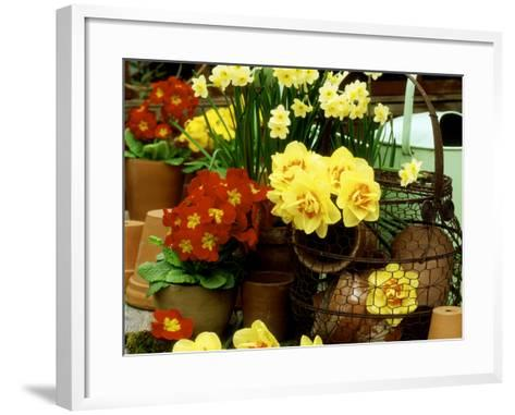 """Narcissus """"Tahiti"""" and """"Minnow"""" (Daffodil) with Red Polyanthus Plant-James Guilliam-Framed Art Print"""