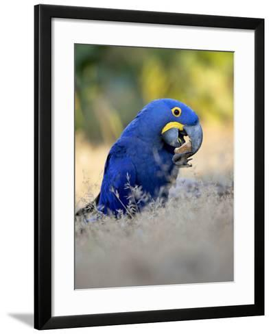Hyacinth Macaw, Parrot Eating Brazil Nuts, Brazil-Roy Toft-Framed Art Print