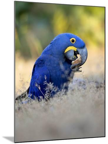 Hyacinth Macaw, Parrot Eating Brazil Nuts, Brazil-Roy Toft-Mounted Photographic Print