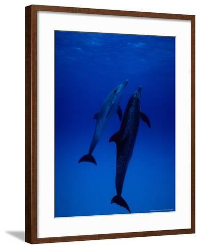 Atlantic Spotted Dolphins, Pair Swimming, Bahamas-Gerard Soury-Framed Art Print