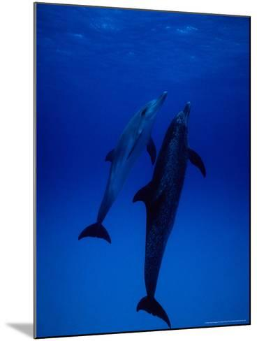 Atlantic Spotted Dolphins, Pair Swimming, Bahamas-Gerard Soury-Mounted Photographic Print
