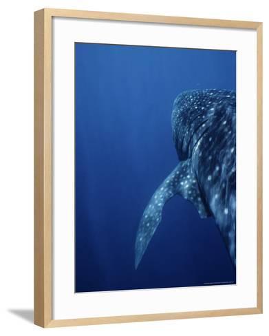 Whale Shark, Swimming, W. Australia-Gerard Soury-Framed Art Print