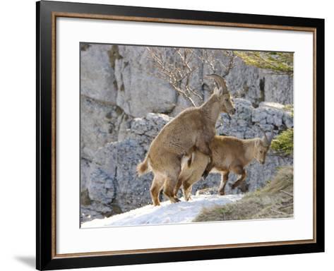 Ibex, Young Ibex Mating, Switzerland-David Courtenay-Framed Art Print