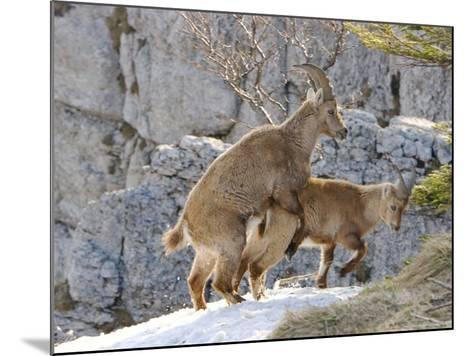 Ibex, Young Ibex Mating, Switzerland-David Courtenay-Mounted Photographic Print