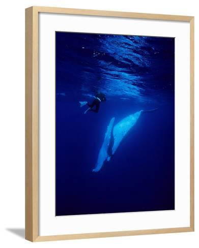 Humpback Whale, with Diver, Polynesia-Gerard Soury-Framed Art Print
