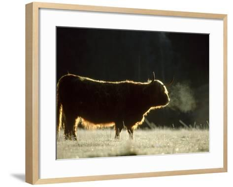 Highland Cow Backlit on Frosty Autumn Morning, November Cai Rngorms National Park, Scotland-Mark Hamblin-Framed Art Print