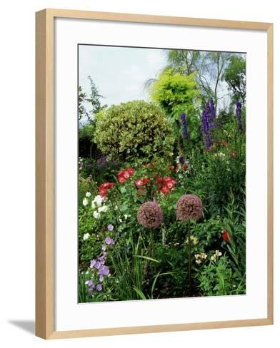 Border with Rosa (Roses), Allium (Ornamental Onion) Shrubs, Delphinium, and Ilex (Standard Holly)-Ron Evans-Framed Art Print
