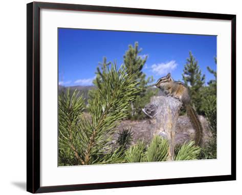 Least Chipmunk on Small Log Showing Habitat, Wyoming, USA-Mark Hamblin-Framed Art Print