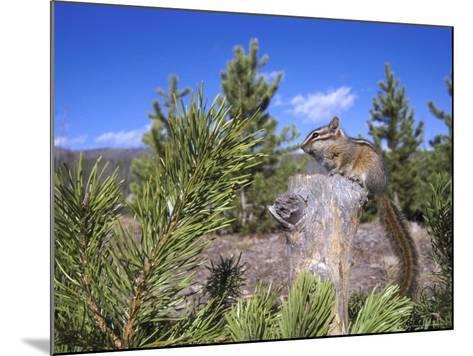 Least Chipmunk on Small Log Showing Habitat, Wyoming, USA-Mark Hamblin-Mounted Photographic Print