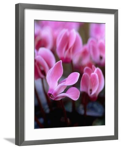 Mini Cyclamen, Close-up of Pink Flowers, November-James Guilliam-Framed Art Print