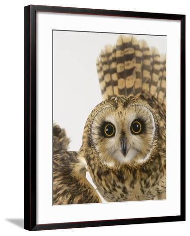 Short-Eared Owl, St. Tiggywinkles Wildlife Hospital, UK-Les Stocker-Framed Art Print