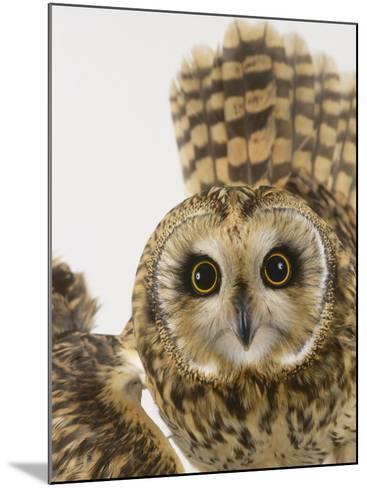 Short-Eared Owl, St. Tiggywinkles Wildlife Hospital, UK-Les Stocker-Mounted Photographic Print