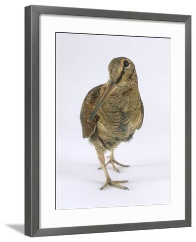 Woodcock, St. Tiggywinkles, UK-Les Stocker-Framed Art Print