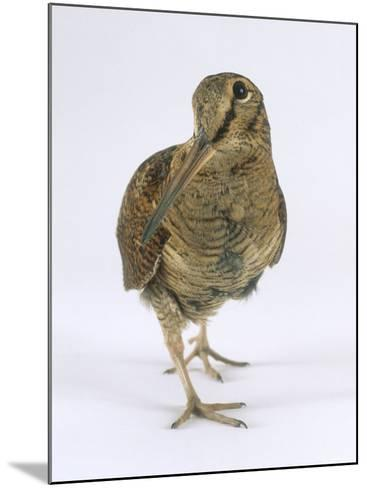 Woodcock, St. Tiggywinkles, UK-Les Stocker-Mounted Photographic Print