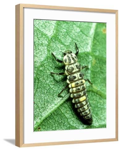 Seven Spot Ladybird, Larva Infamous Aphid Feeder-Harold Taylor-Framed Art Print