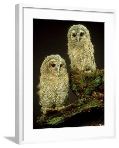 Tawny Owl, Young, UK-Les Stocker-Framed Art Print
