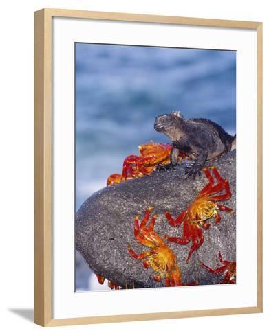 Marine Iguana & Sally Lightfoot Crabs, Mosquera Island, Galapagos-Mark Jones-Framed Art Print
