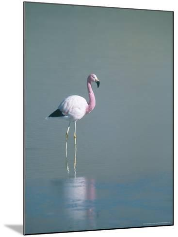 Andean Flamingo, Summer Feeding Ground, Lake Hedionda, Bolivia-Mark Jones-Mounted Photographic Print
