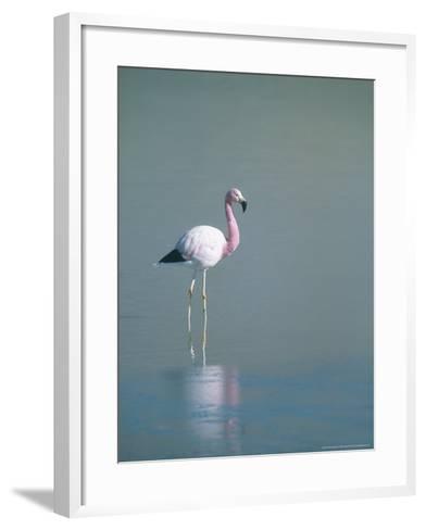 Andean Flamingo, Summer Feeding Ground, Lake Hedionda, Bolivia-Mark Jones-Framed Art Print