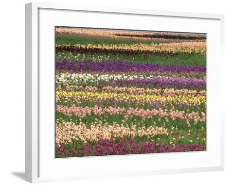 Pattern in Rows of Cultivated Iris, Oregon-Adam Jones-Framed Art Print