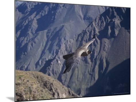 Andean Condor, Sub-Adult Male in Flight, Peru-Mark Jones-Mounted Photographic Print