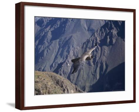 Andean Condor, Sub-Adult Male in Flight, Peru-Mark Jones-Framed Art Print