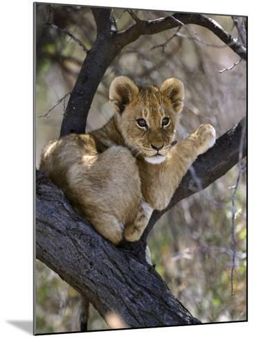 African Lion, Young Cub in Tree, Southern Africa-Mark Hamblin-Mounted Photographic Print