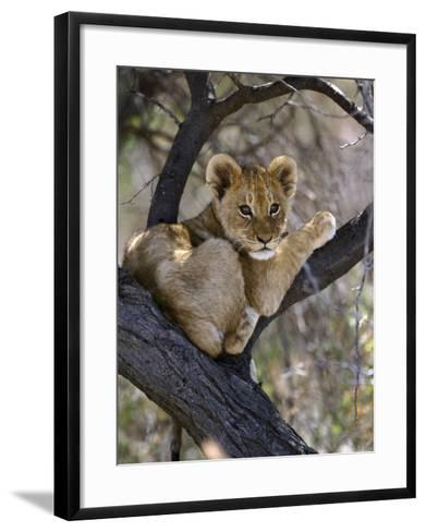 African Lion, Young Cub in Tree, Southern Africa-Mark Hamblin-Framed Art Print