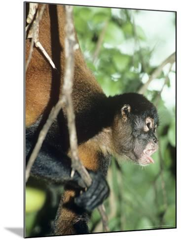 Spider Monkey, Male, Panama-Philip J^ Devries-Mounted Photographic Print