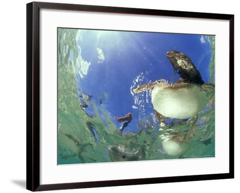 Brown Pelicans, from Below, Mexico-Tobias Bernhard-Framed Art Print