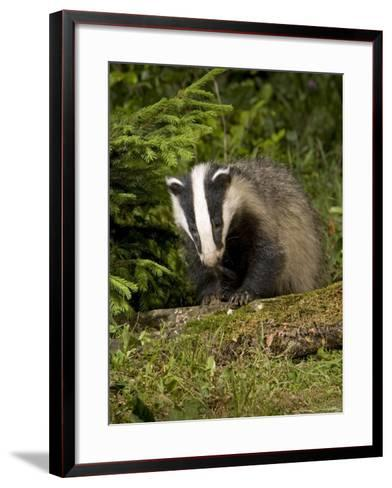 Badger, Climbing on Tree Stump, Vaud, Switzerland-David Courtenay-Framed Art Print