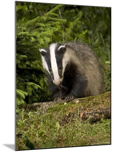 Badger, Climbing on Tree Stump, Vaud, Switzerland-David Courtenay-Mounted Photographic Print