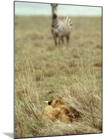 African Lion, Lioness in Ambush, Tanzania-John Downer-Mounted Photographic Print