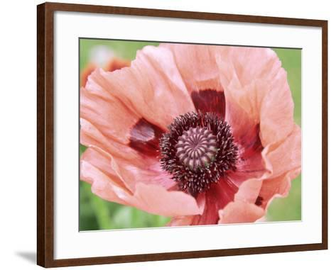 Papaver Fiesta, Salmon Coloured Flower with Anthers-Lynn Keddie-Framed Art Print