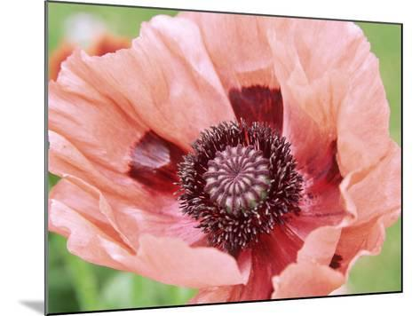 Papaver Fiesta, Salmon Coloured Flower with Anthers-Lynn Keddie-Mounted Photographic Print