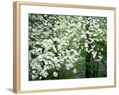 Dogwood Tree, Great Smoky Mnts National Park, USA-Willard Clay-Framed Art Print