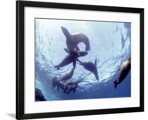Galapagos Sea Lion, Frolicking Underwater, Galapagos-Mark Jones-Framed Art Print