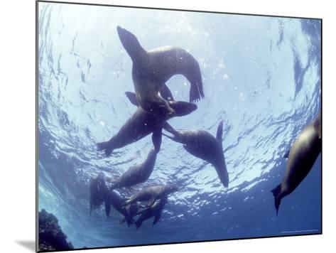 Galapagos Sea Lion, Frolicking Underwater, Galapagos-Mark Jones-Mounted Photographic Print