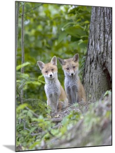 Red Fox, Fox Cubs Outside Den, Vaud, Switzerland-David Courtenay-Mounted Photographic Print