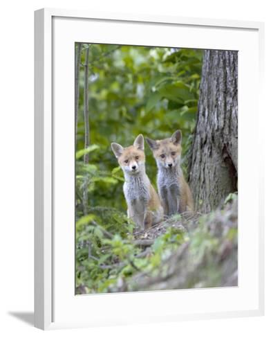 Red Fox, Fox Cubs Outside Den, Vaud, Switzerland-David Courtenay-Framed Art Print