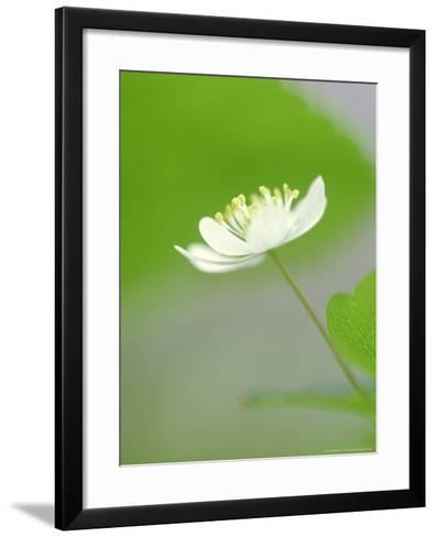 Rue Anemone, Anemonella Thalictroides Flower, Great Smoky Mtn National Park, TN-Adam Jones-Framed Art Print
