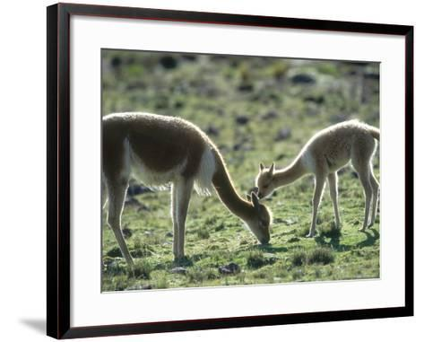 Vicuna, Mother with 3 Week Old Baby, Peruvian Andes-Mark Jones-Framed Art Print