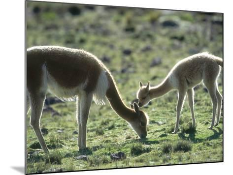 Vicuna, Mother with 3 Week Old Baby, Peruvian Andes-Mark Jones-Mounted Photographic Print